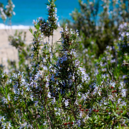 Rosemary by the sea
