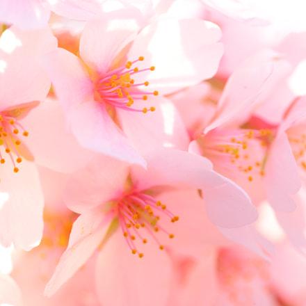 Cherry Blossom, Nikon D610, AF Micro-Nikkor 60mm f/2.8