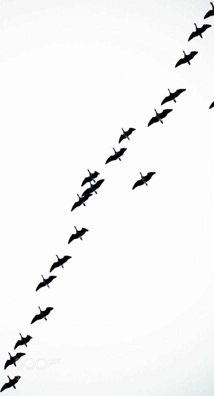 Photograph Migration by Steven Brison on 500px