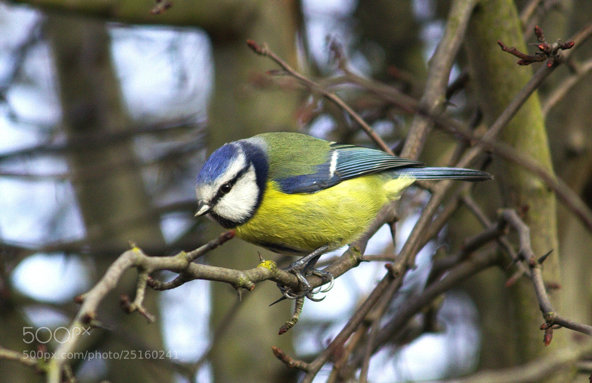 Photograph Little Blue Tit by Chrissie Barrow on 500px