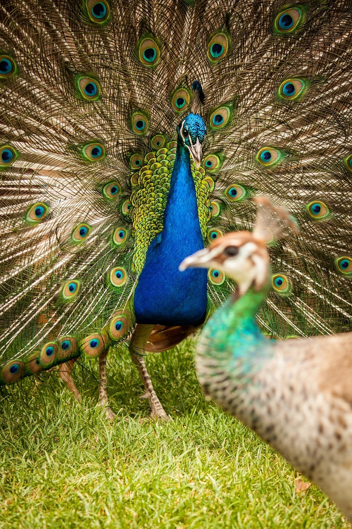 Photograph Peacock Dance by Rebecca Healee on 500px