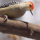 Orange Bellied Woodpecker