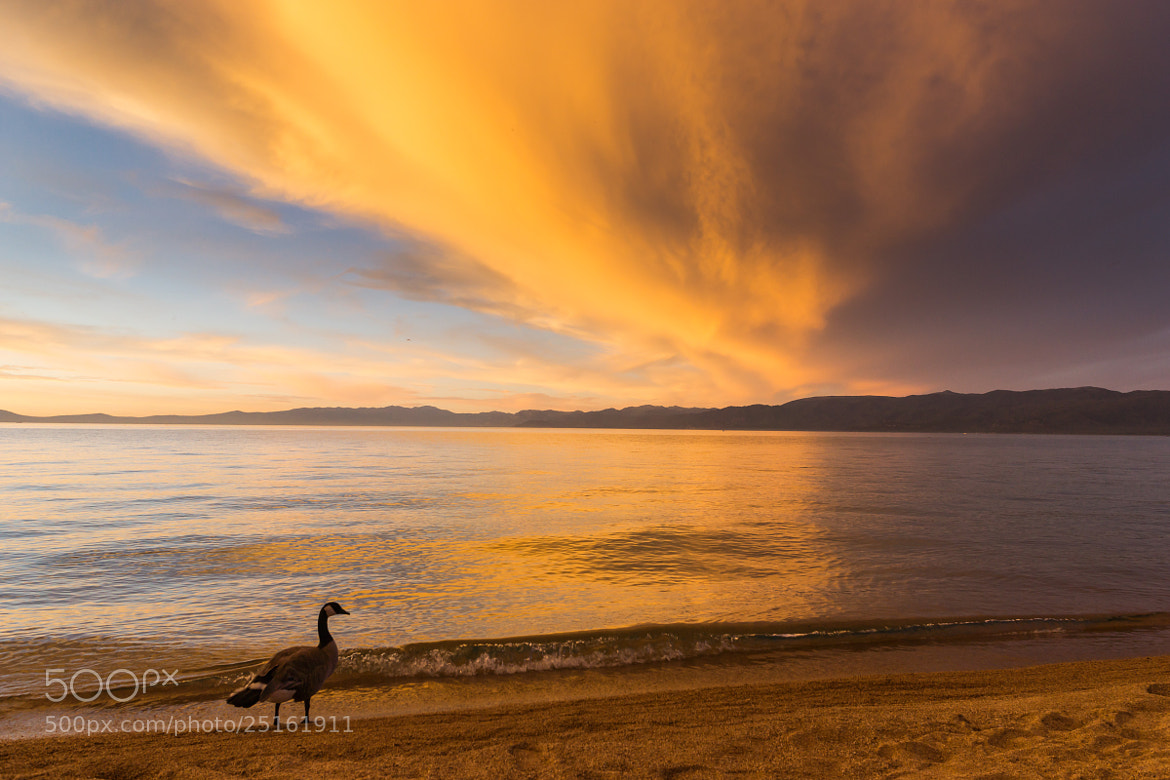Photograph Tahoe, Sunset and Goose by Jurijs Buts on 500px
