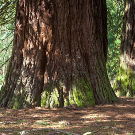 Mammutbäume Landstuhl