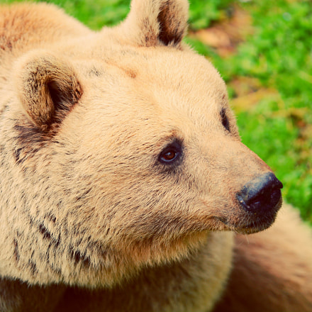 Bear, Nikon D7100, Sigma APO Macro 150mm F2.8 EX DG HSM