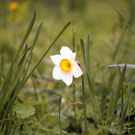 Lonely daffodil, Nikon D750, Sigma 70-300mm F4-5.6 APO Macro Super II