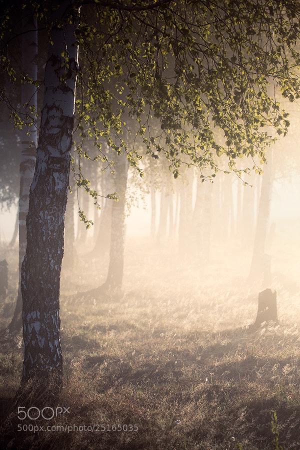 Photograph Birch by Alexei Mikhailov on 500px