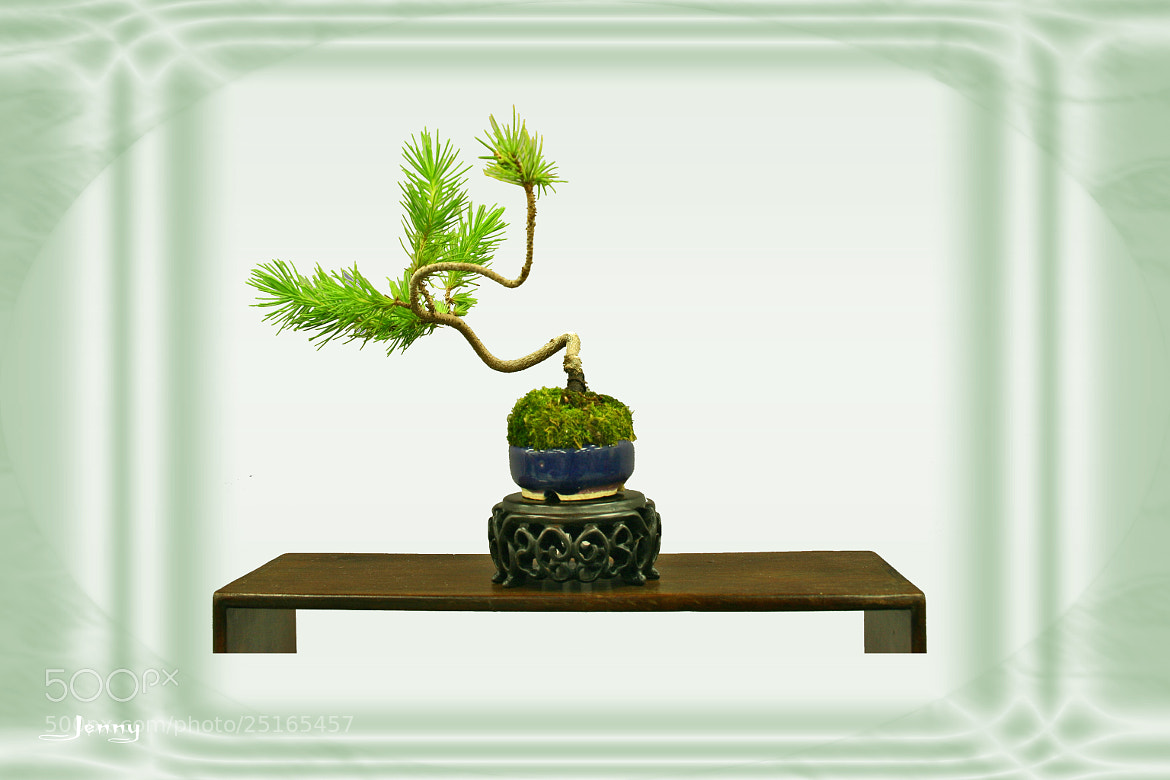 Photograph Bonsai by Jenny Yu on 500px