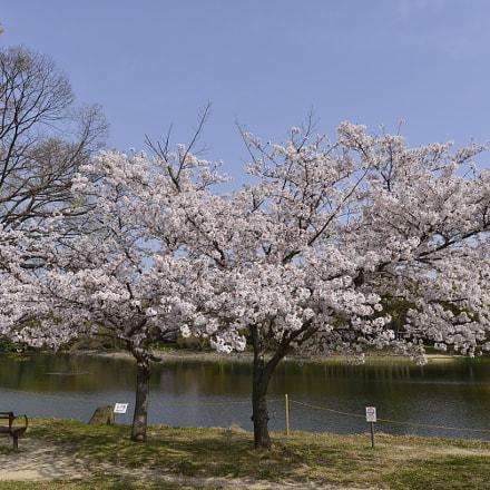 Cherry blossom, Nikon D610