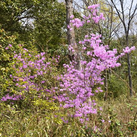 Rhododendron kaempferi, Nikon D610