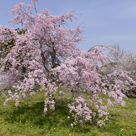 weeping cherry, Nikon D610