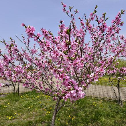 peach, Nikon D610