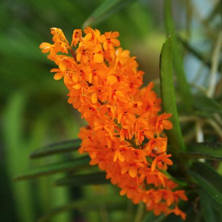 Flower today - Ascocentrum, Pentax K-5 II S, Sigma 17-50mm F2.8 EX DC HSM