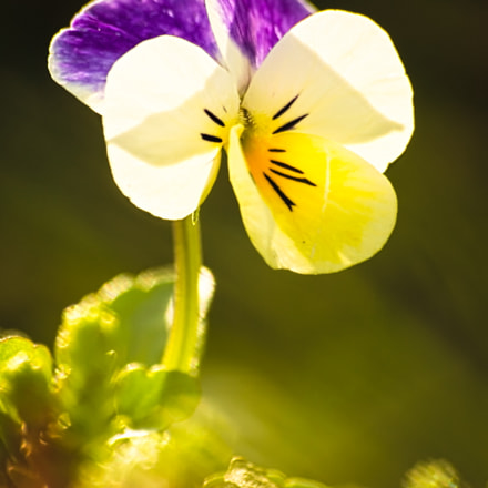Pansy in the light, Canon EOS 1100D, Sigma 70-300mm f/4-5.6 [APO] DG Macro