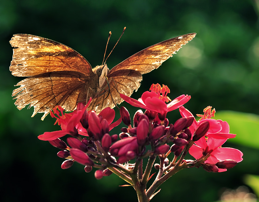 Photograph Butterfly  by hirza kini on 500px