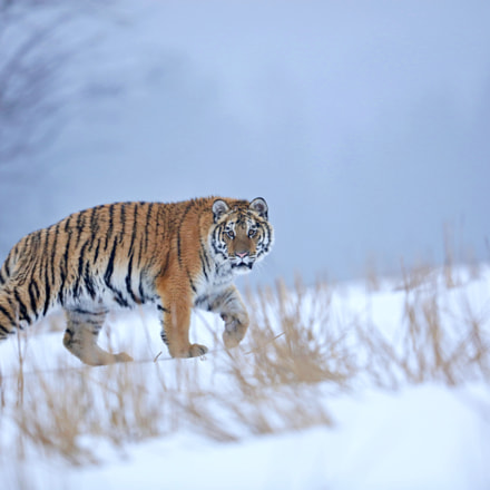 Siberian Tiger in the, Canon EOS 5DS R, Canon EF 500mm f/4L IS II USM