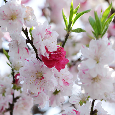 咲き分ける桃, Nikon D7500, Sigma Macro 105mm F2.8 EX DG