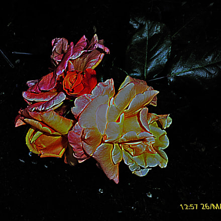 Rose, Panasonic DMC-TZ25