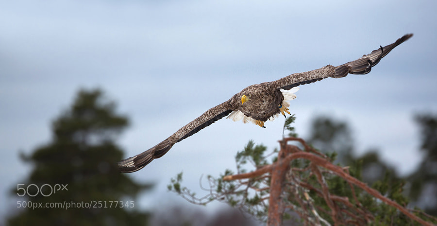 White-tailed Eagle in Hiiumaa