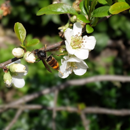 Hornet on a blooming, Fujifilm XQ1