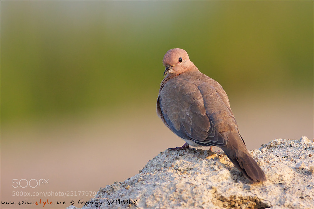 Photograph Laughing Dove (Spilopelia senegalensis cambayensis) by Gyorgy Szimuly on 500px