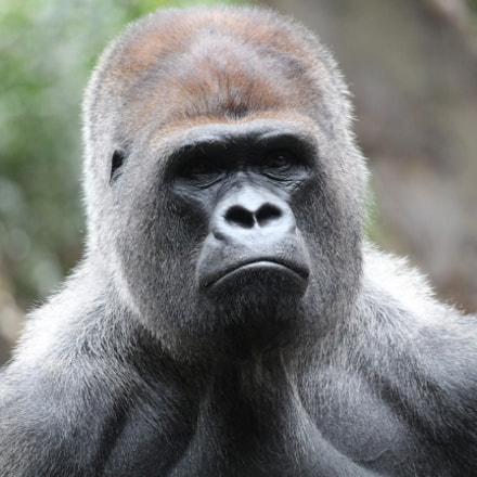gorilla, Canon EOS 650D, Canon EF 70-200mm f/4L IS