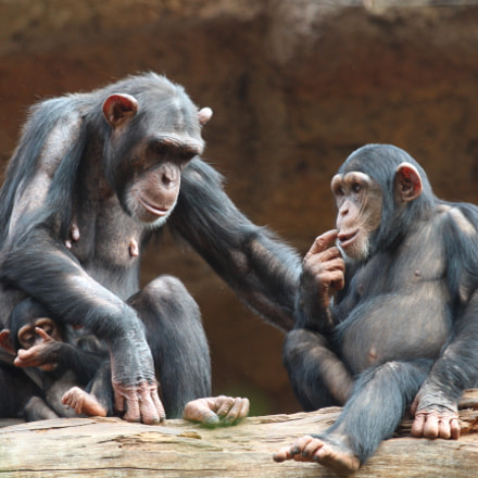 chimpansees, Canon EOS 650D, Canon EF 70-200mm f/4L IS