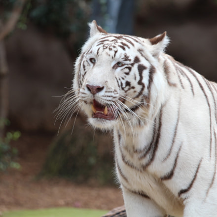white tiger, Canon EOS 650D, Canon EF 70-200mm f/4L IS