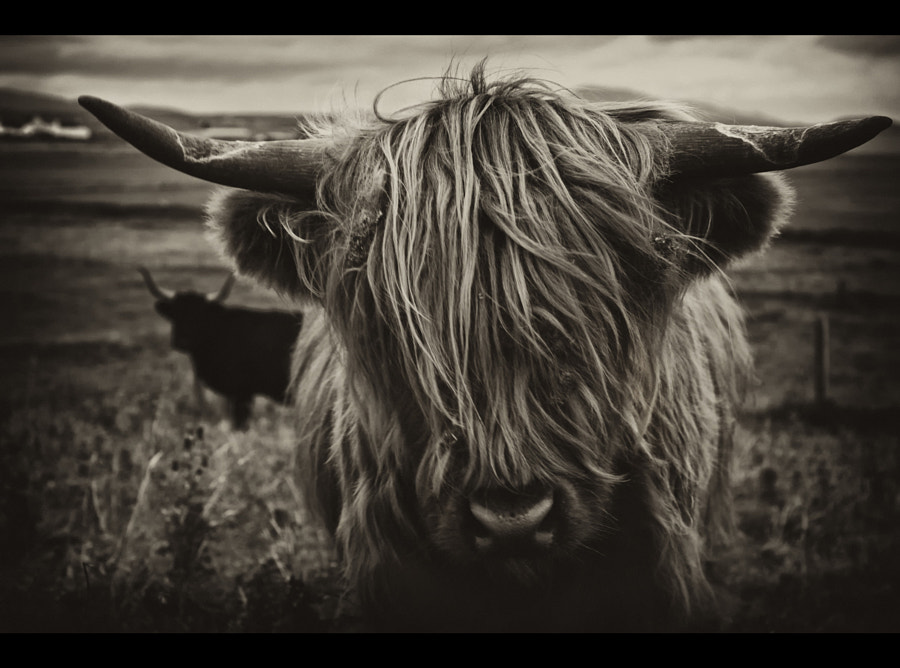 couple of highland cows from a visit to North Uist in the  Outer hebrides a few weeks ago. this one was very inquisitive :)