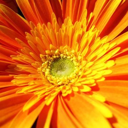 Orange Gerbera Flower, Panasonic DMC-TS5