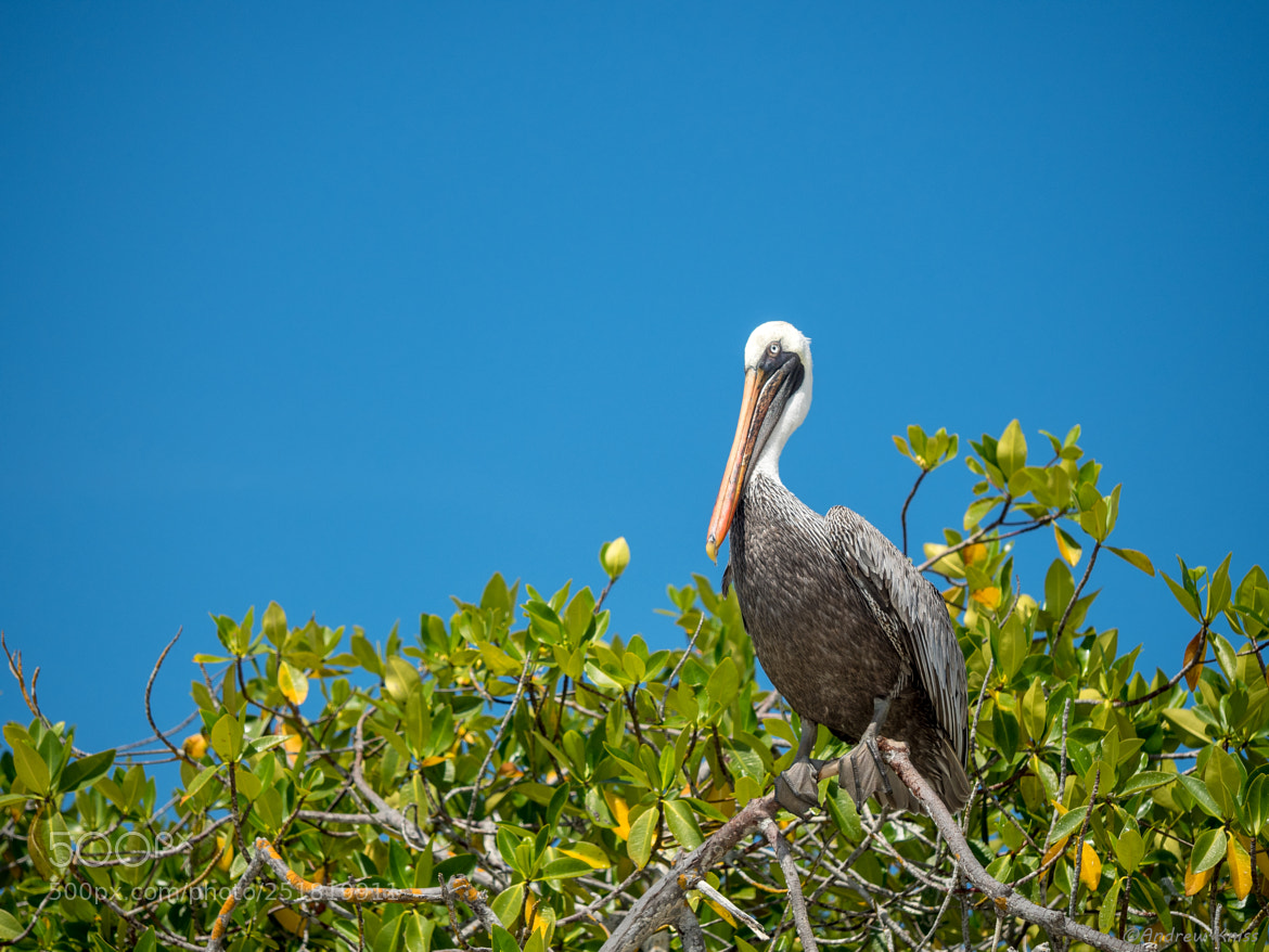 Pelican on a mangrove tree