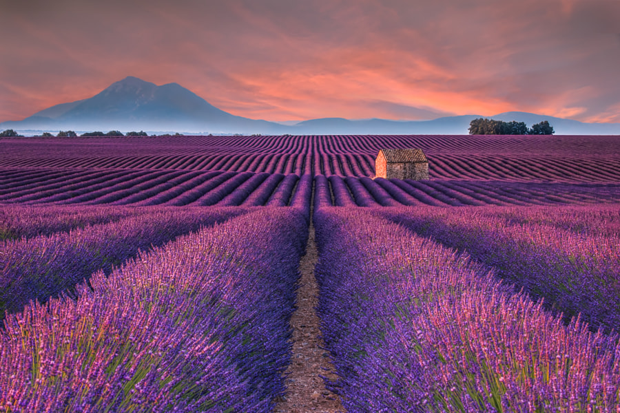 Lavender Fields by Angela Chong on 500px.com