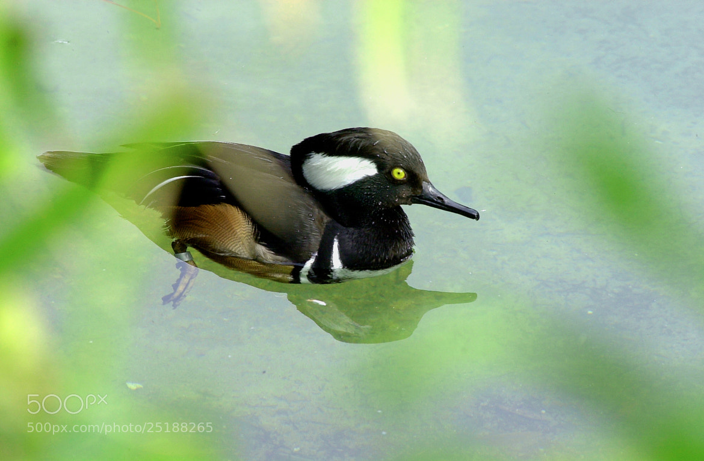 Photograph Bufflehead Duck by George Bloise on 500px