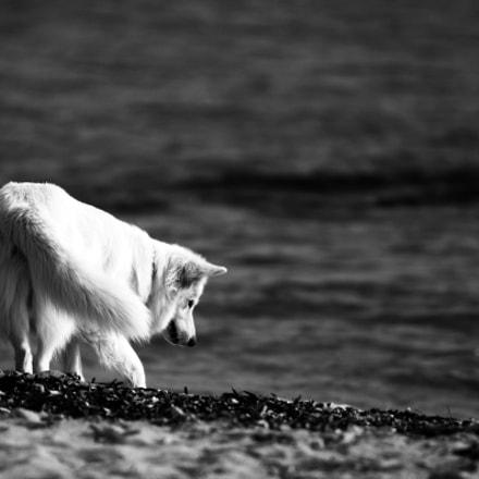 white dog, Canon EOS 70D, Sigma 70-200mm f/2.8 APO EX HSM