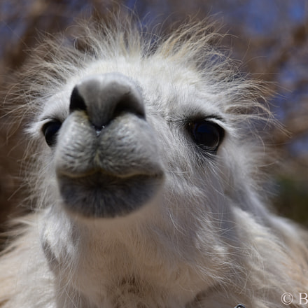 Llama, Nikon D750