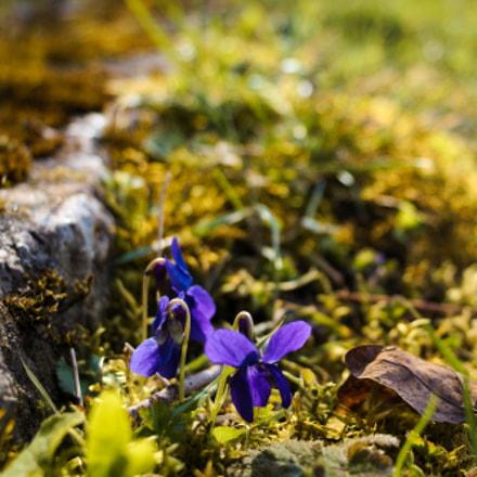 Veilchen im Frühling