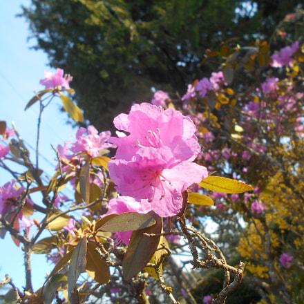 Pink Flowers Series Pt.12, Nikon COOLPIX L30