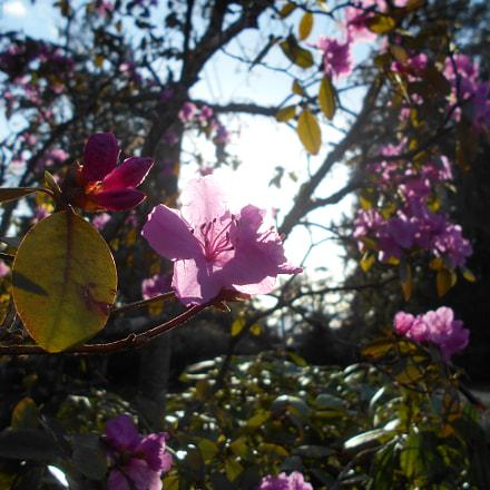 Pink Flowers Series Pt.13, Nikon COOLPIX L30