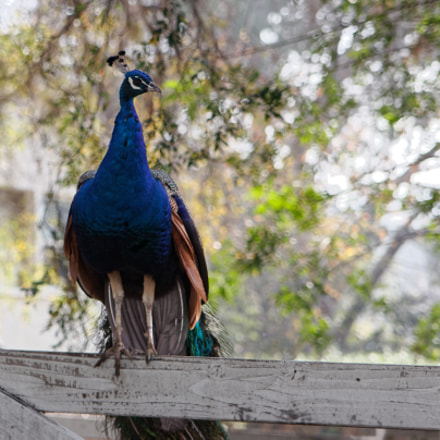 Peacock on a Fence, Canon EOS 60D, Tamron SP AF 28-75mm f/2.8 XR Di LD Aspherical [IF] Macro