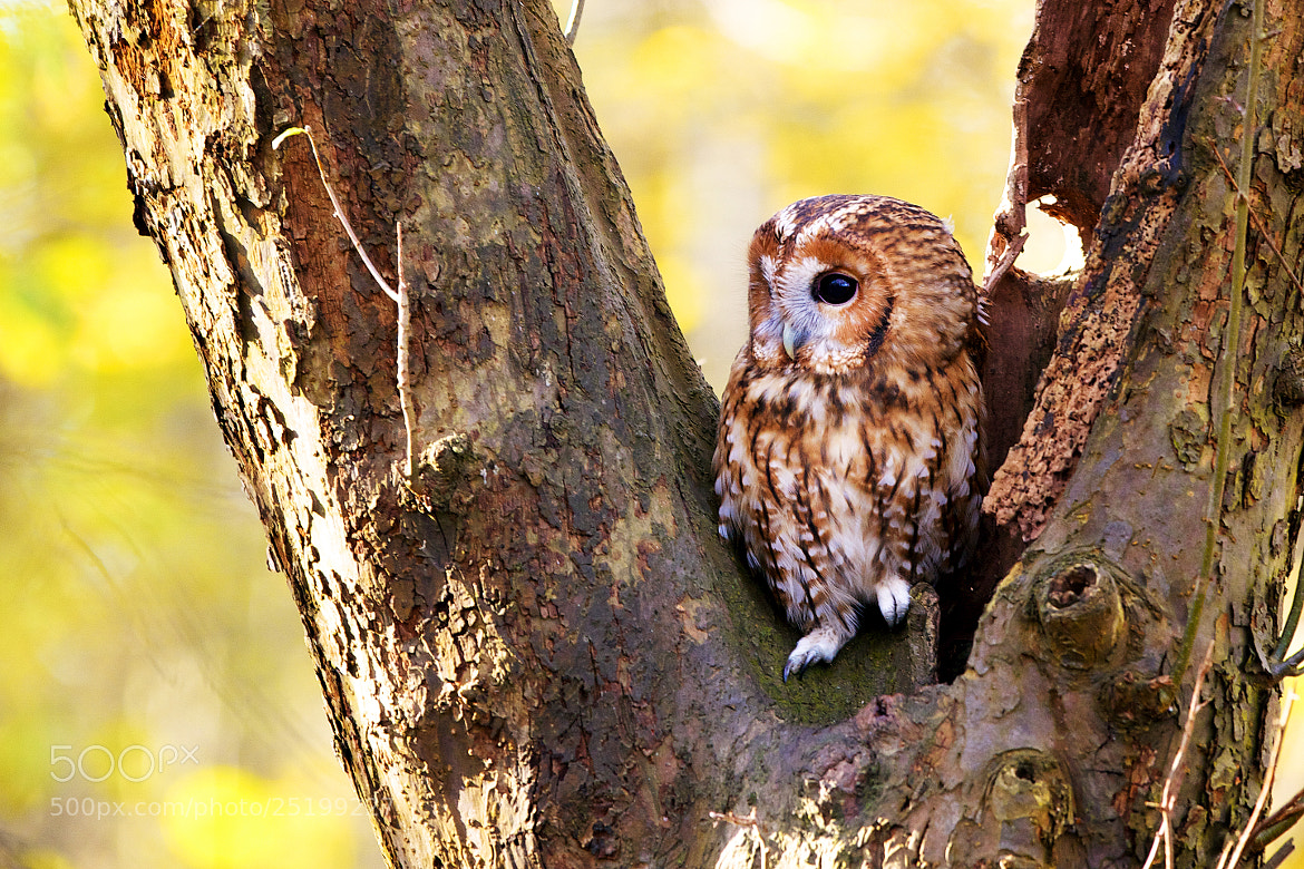 Photograph little tawny by Mark Bridger on 500px