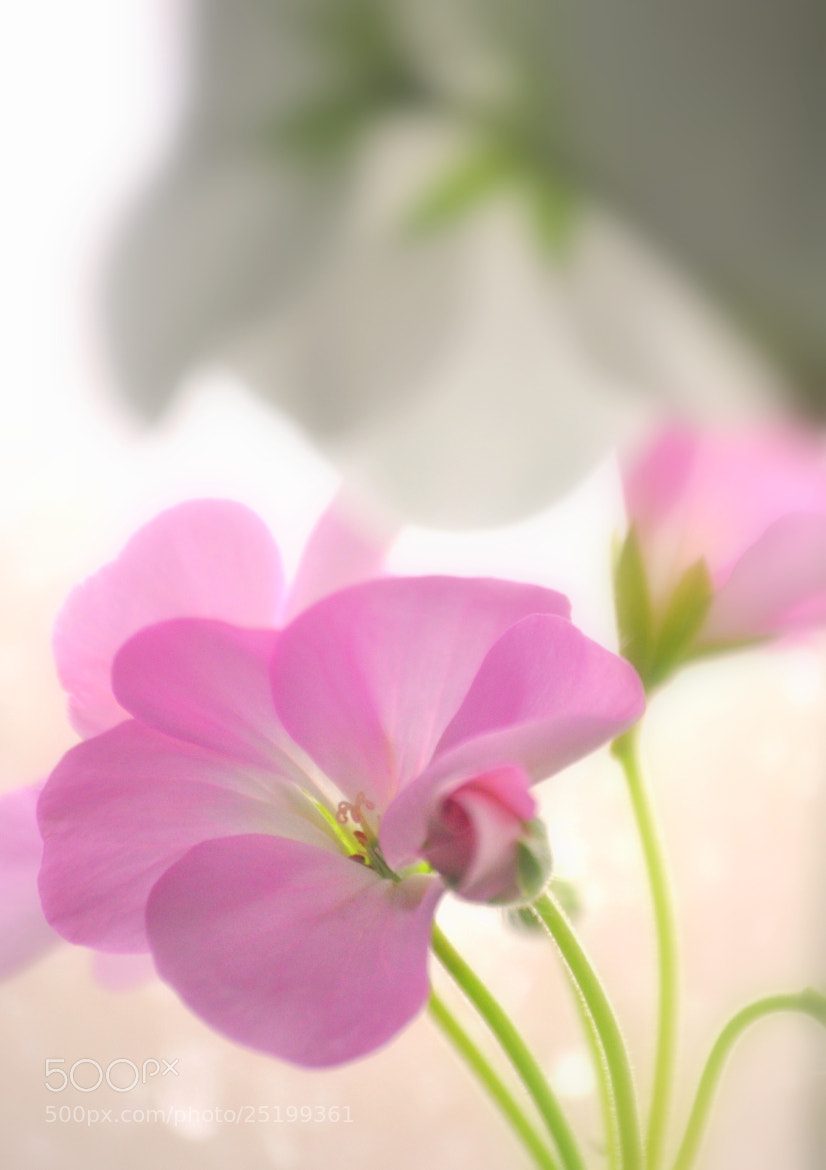 Photograph Pink Geranium by Nate A on 500px