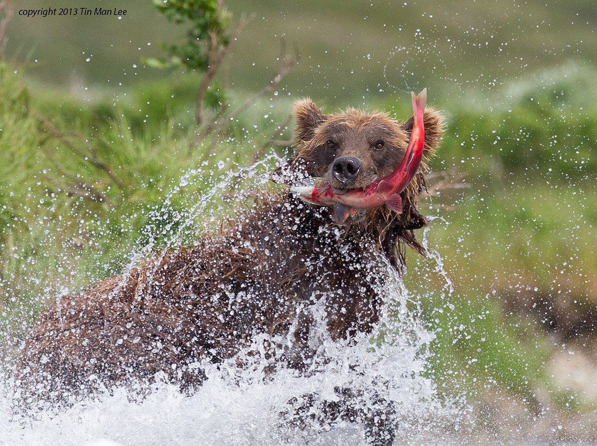 Photograph Coastal Brown Bear with Sockeye Salmon by Tin Man on 500px