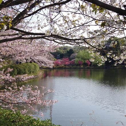 Sakura 2018 #6, RICOH PENTAX K-S2, smc PENTAX-DA 12-24mm F4 ED AL [IF]
