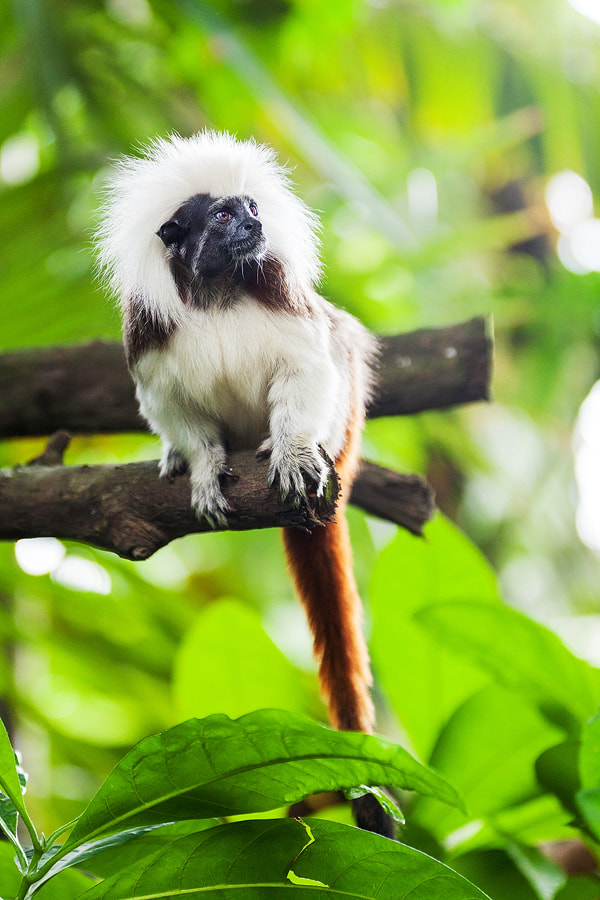 Photograph Cotton-top tamarin by Florian Wieser on 500px