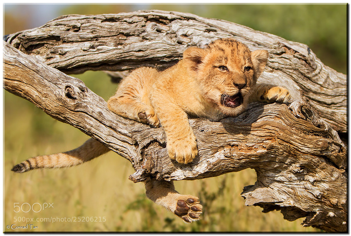 Photograph Meow! by Conrad Tan on 500px