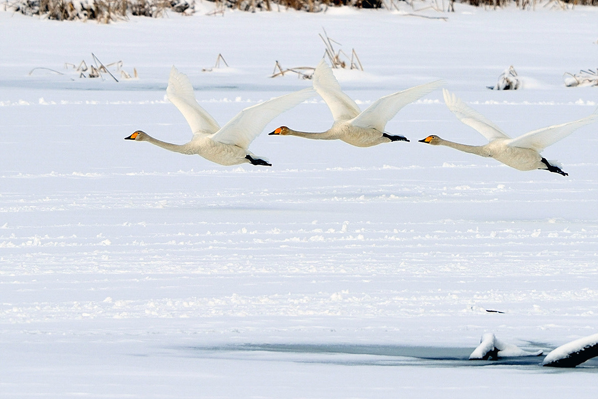 Photograph Whooper Swans by Young Sung Bae on 500px