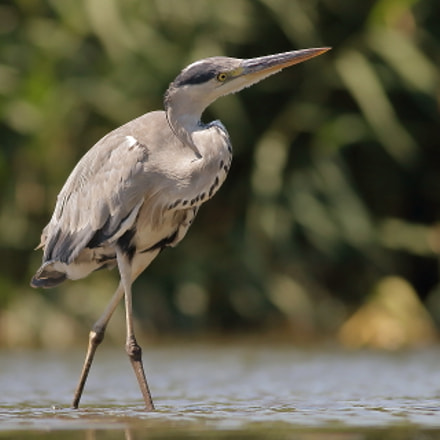 Grey Heron in a, Canon EOS 70D, Canon EF 400mm f/5.6L