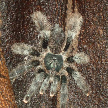 Fuzzy little Amazon Spider, Sony DSC-W110