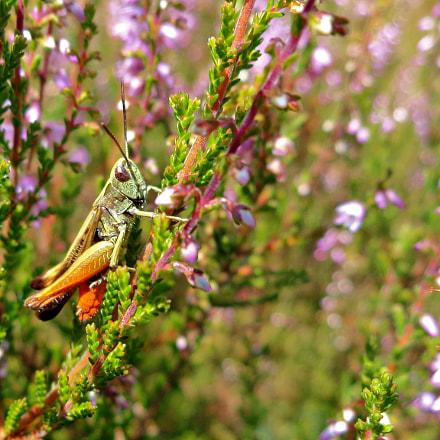 grasshopper on calluna, Sony DSC-W690