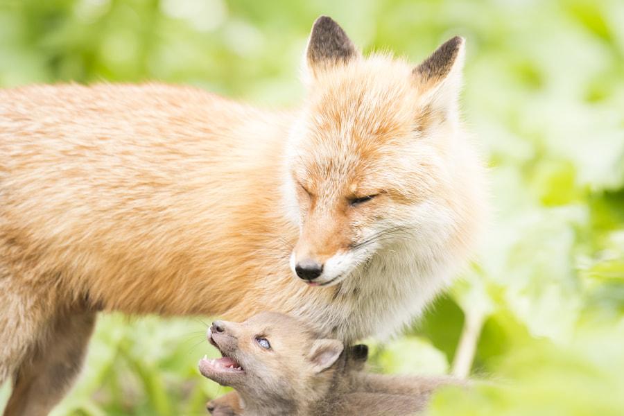500px.comのKousuke Toyoseさんによるred fox キタキツネの親子